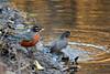 You're Splashing Me! (NaturalLight) Tags: robin bath splash bathing birdbath chisholmcreekpark wichita kansas