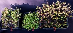 Sedum gracile - Sedum grisebachii - Sedum sexangulare (Nessy apprentie en rangement) Tags: sedum crassulaceae succulent