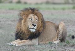 Male Lion - Panthera leo (rosebudl1959) Tags: 2017 kenya malelion zebraplains lolpapit
