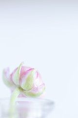 49/52: Barely there (judi may) Tags: 52weekchallenge frombehind ranunculus flower bud pink pastel highkey negativespace simplicity simple lessismore less whitebackground white vase frommygarden canon7d macro dof depthoffield bokeh barelythere soft softness