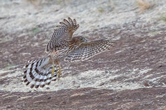 Cooper's Hawk - Juvenile (X7A_7470-1) (Eric SF) Tags: raptor coyotehillsregionalpark fremont california coopershawk hawk