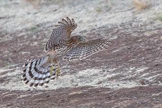 Cooper's Hawk - Juvenile (X7A_7470-1)