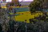 Canola fields from Galore Hill Lookout (Theresa Hall (teniche)) Tags: annamaria annamariahall australia canberra galorehill galorehilllookout nsw newsouthwales paul paulseaman teniche theresa theresahall wagga waggawagga lookout sunset view canola fields canolafields viewfromabove bush australianbush ardlethanhills bethungrahills boreecreek coolamon countrynsw dial exploringaustralia goombargarma lakecullivel lockhart mountarthur mountsquarehead narrandera roamtheplanet therockhill tourismnsw visitnewsouthwales yerongcreek