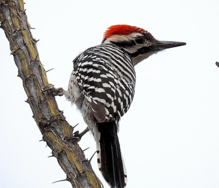 Ladder Backed Woodpecker-121117-
