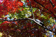 Pigeon seeing red maples in Arisugawa Park (有栖川宮記念公園) (christinayan01 (busy)) Tags: bird pigeon park garden tokyo japan autumn fall maples tree leaf koyo red leaves