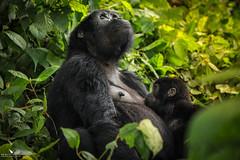 Bitukura Mom and Baby (pbmultimedia5) Tags: gorilla bwindi impenetrable forest national park wildlife uganda africa green trees mother baby pbmultimedia mountain