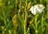 xyx-0221 (jozsef.fay) Tags: hely itthon köncsög növény virág rovar szitakötõ vadvirág állat szitakötő