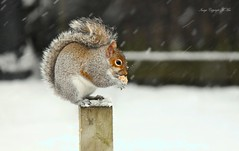 Bit nippy out.! ( Explored.) (nondesigner59) Tags: snow squirrel chilly winter wildlife nature archives copyrightmmee eos50d nondesigner nd59