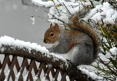 Squirrel and Snow (Eleanor (No multiple invites please)) Tags: squirrel greysquirrel snow fence garden stanmore uk nikond7200 december2017