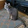 Millie 20 November 2017 7093Ri sq (edgarandron - Busy!) Tags: cat cats kitty kitties tabby tabbies cute feline millie graytabby