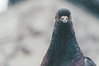 pigeon. (Nicole Favero) Tags: verde pigeon people love amazing mine cute cool awesome forever followme crazy eyes animals lightroom light milan place birds photography nikon nikond5000 camera reflex effect orange red xmas attack pigeons