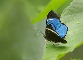 Sky-blue Eyemark (Mesosemia loruhama)