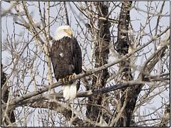 _B050080 (geelog) Tags: perch bird baldeagle alberta bowriver calgary fishcreekpark forest ab canada