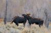 Love (Amy Hudechek Photography) Tags: moose love nature wildlife forest autumn fall rut amyhudechek grand teton national park gtnp nikond500 nikon200500f56