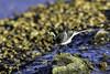 A day At Slimbridge WWT (lloydie1963) Tags: autumn birds colours closeup nikond7200 ducks explore fly inexplore nikon littlebirds nature nikon300mmf28vr2 outdoor onlythebestofnature wildlife winter slimbridgewwt bewick bewickswan