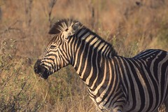 """The Sun's in My Eyes"" (The Spirit of the World ( On and Off)) Tags: zebra portrait eyes shiningeyes forest woodlands stripes wildlife mammal nature madikwe southafrica africa safari gamedrive ngc npc"