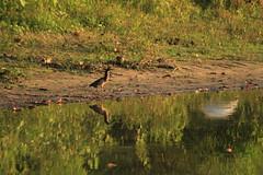 Green heron (Bird-guy) Tags: green heron butorides virescens little rock arkansas burns park