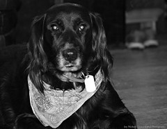 Guardian Of The Woodstove (joyolsonnichols) Tags: nichols nicholsdog dog dogsaregreat pet animal dogsarepeopletoo blackandwhite petportrait