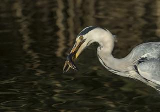 Heron - Shiney water., Shiney fish