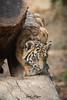 DC (ToddLahman) Tags: dc sumatrantiger babysumatrantiger tiger tigers tigertrail tigercub outdoors mammal male beautiful pounce canon7dmkii canon canon100400 c