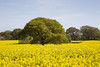 Rapeseed Beauty (David Chennell - DavidC.Photography) Tags: nature agriculture rapeseed wirral merseyside