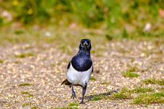 i know kung fu! (I was blind now I see!) Tags: magpie bird birding frontal birds birdphotography birdwatching bokeh nature urban