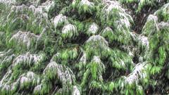 * Abete ... e sembrava di essere in montagna * Fir-tree ... and it seemed to be on the mountain * (argia world 1) Tags: pianurapadana modena abete firtree rami branches neve snow fiocchidineve snowflakes nevicataautunnale autumnsnowing