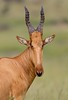 Jackson's Hartebeest Murchison Falls National Park Uganda _ZM42868 Nov 2016 (www.sabrewingtours.com) Tags: murchison fall national park uganda african birding expo sabrewing nature tours snt photo tour brian zwiebel bz tourism eco jacksons hartebeest savannah thepearlofafrica conservation entebee 2016