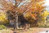 ruine HDR LM8+Z18 1001967 (mich53 - thank you for your comments and 4M view) Tags: arboretum saison automne arbres télémètre nature soleil couleurs paisible or feuillages feuilles forêt ruine season autumn trees rangefinder sun colors peaceful gold foliage leaves forest ruined fallen bäume entfernungsmesser natur sonne farben friedlich laub wald arboreto temporada otoño árboles telémetro naturaleza sol colores pacífico oro follaje hojas bosque ruina larocheguyon valdoise france frankreich paysage landscape leicam8 zeissdistagont418zm 4autumn hdr