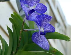 Vanda coerulea species orchid (nolehace) Tags: fall nolehace sanfrancisco fz1000 flower bloom plant vanda coerulea species orchid 1117