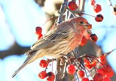 house finch male eating crabapples at Lime Springs IA 854A7867 (lreis_naturalist) Tags: house finch male eating crabapples lime springs howard county iowa larry reis