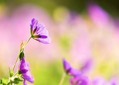 Flowers (mclcbooks) Tags: flower flowers floral macro closeup denverbotanicgardens colorado summer