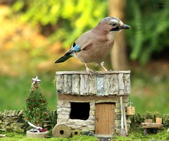 jay festive with christmas tree (Simon Dell Photography) Tags: jay large brown bird blue wing sheffield simon dell photography nature wildlife wild garden pond animal photo autumn winter leafs reflection 2017 nov hackenthorpe s12 festive christmas tree model house cottage stone wall