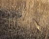 Bittern venturing out (mikedenton19) Tags: bittern botaurus stellaris botaurusstellaris ardeidae far ings farings lincolnshirewildlifetrust lincolnshire wildlife trust lwt nature reserve naturereserve bartonuponhumber reeds reedbed