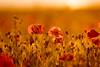 Poppy (The Original Happy Snapper) Tags: flower poppy poppies petal sunset sunlight sunny plant flora flowerporn