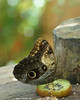 Giant owl, lunch time (Darea62) Tags: caligomemnon owl butterfly insect nature paleowl giantowl animal wildlife food lunch table kiwi bokeh closeup wings tropical