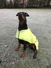 Are you looking at me? - Dobermann Pinscher Saxon (firehouse.ie) Tags: 11months young male boy pero animals animal k9 frost winter november2017 pinscher pinschers dobermanns dobermans dobermann doberman dobies dobie dobeys dobey dobes dobe saxon