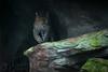 Sri Lanka panter (Bart Hardorff) Tags: 2017 arnhem barthardorff burgerszoo pantheraparduskotiya srilankapanter theneherlands december dierentuin panter zoo