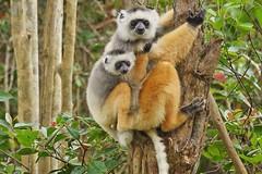 Diademed Sifaka (Propithecus diadema) (Susan Roehl) Tags: madagascar2017 islandofmadagascar offtheeastcoastofafrica andasibemantadianayionalpark diademedsifaka propithecusdiadema animal mammal herbivore lemur motherandchild endangered livesinrainforests oneofthelargestlivinglemurs 41incheslong longsilkycoat mostwidelydistributed endemic diethighinenergy troopoftwototen travels16milesperday eatsover26typesofplants diurnal eatsfruit flowers seeds leaves athletic arboreal predatorsfosasandcrocodiles femaleisdominant oneoffspringperonefemaleperyear sueroehl photographictours naturalexposures panasonic lumixdmcgh4 100400mmlens handheld cropped ngc npc