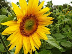 9172ex  sunny face  **Explore** (jjjj56cp) Tags: flowers blossoms blooms fieldofflowers details closeup gormanfarm gormanheritagefarm oh ohio sunflowerfield p900 jennypansing explore explored