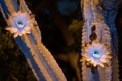 Cereus Flower (C. Burrows) Tags: uvivf flower botany nature cactus cereus