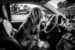 Dog behind the wheel_ (Ramireziblog) Tags: dog hond car auto fiat 500 hair haar canon 6d street