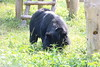 V061 Sampo 3Nov2017 (24) (Animals Asia) Tags: vietnam vbrc vietnambearrescuecentre moonbearmonday sampo animalsasia moonbear