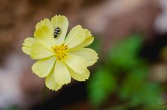 (José Mauricio Garijo) Tags: flower flor flores josémauriciogarijofotos joaninha detalhes fiori