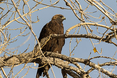 Golden Eagle surveying the area