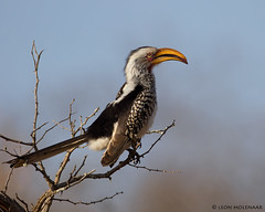 Southern Yellow-billed Hornbill (leendert3) Tags: leonmolenaar wildlife nature krugernationalpark southafrica bird ngc npc sunrays5 coth5