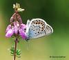 Silver-studded Blue (Plebejus argus). Surrey, (Dennis Kallmer) Tags: plebejusargus