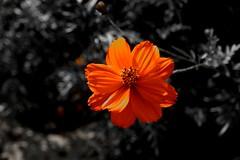 Flower (Carandoom) Tags: 2017 suisse switzerland plante plant fleur flower macro brillant one color selective couleur une black white noir et blanc orange