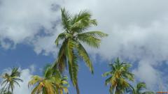 Palmiers, Sainte-Lucie, Caraïbes - 0870 (rivai56) Tags: castries saintelucie lc saintlucia antilles caraïbes moment de relaxation avec cette vue palmiers