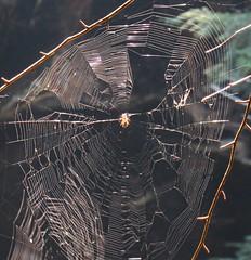 Close up on the spider in the web (debstromquist) Tags: yahoofalls yahoocreek mccrearycounty ky kentucky whitleycity bigsouthforknationalriverandrecreationarea danielboonenationalforest spiderwebs spiders webs spidersandwebs